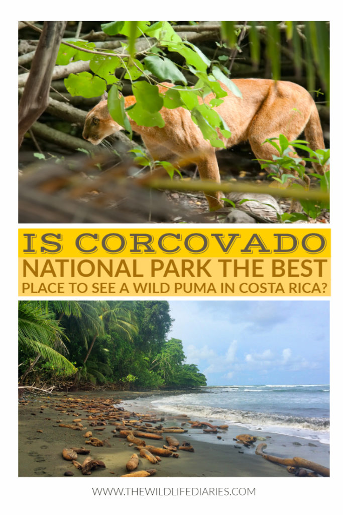 Is Corcovado National Park the best place to see a wild puma in Costa Rica