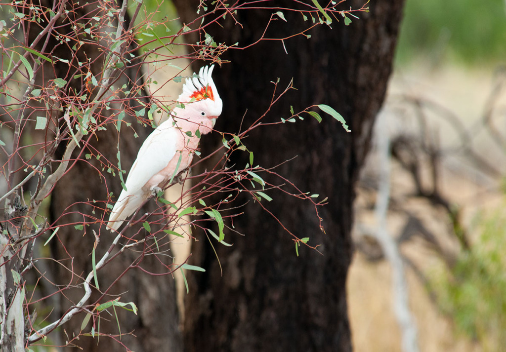 Major Mitchell cockatoo at Bowra Sanctuary