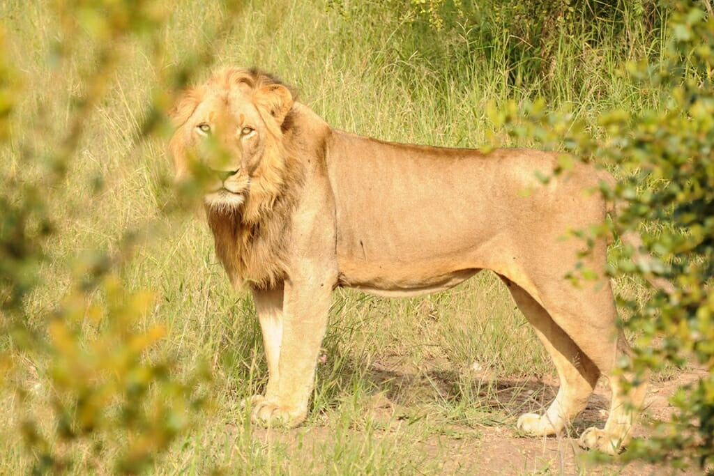 African lion on a Kruger Park Safari
