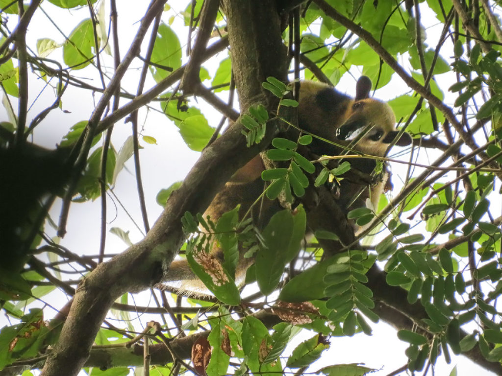 Northern tamandua in Corcovado National Park