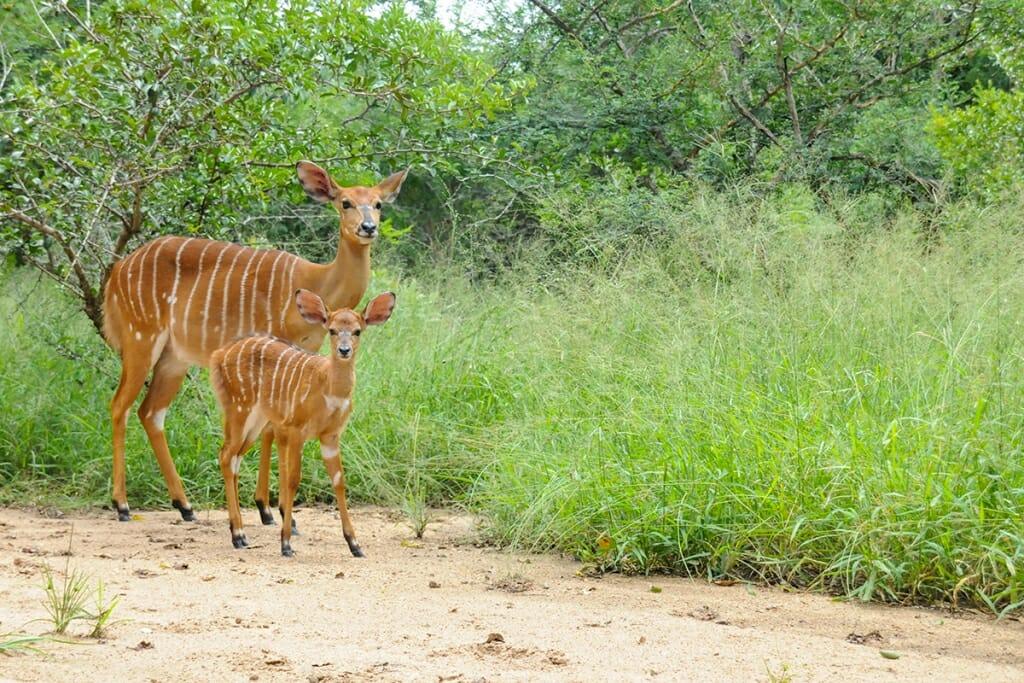 Nyala with a calf