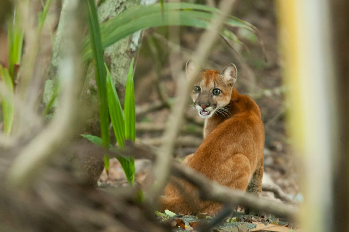 Puma cub in Corcovado National Park