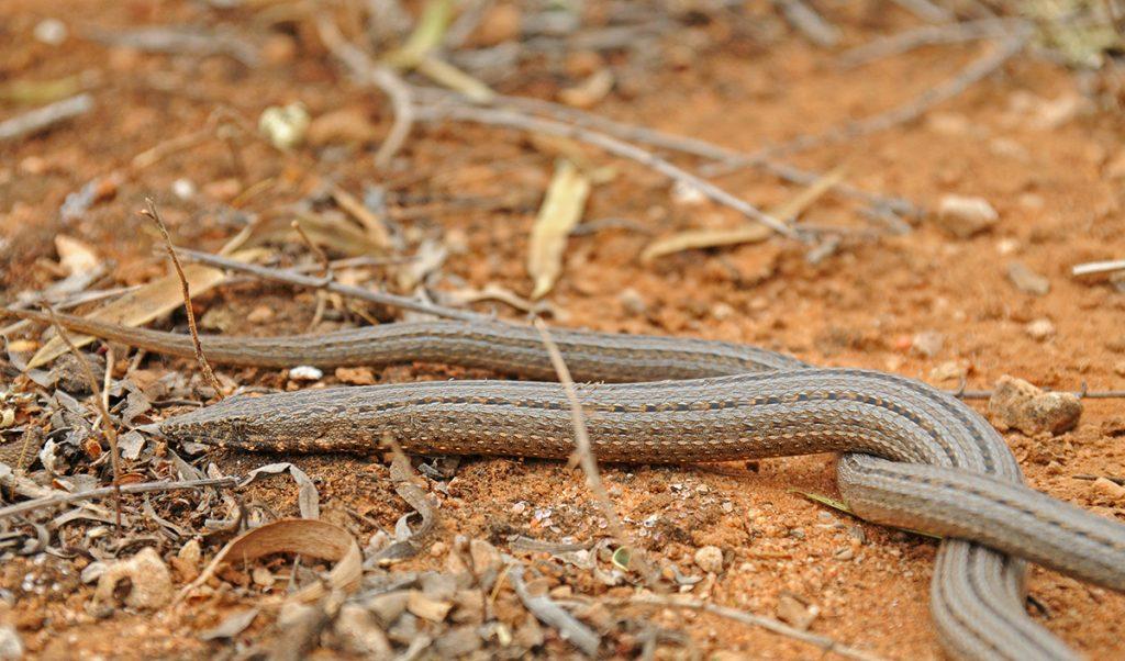 Legless lizard, pygopis spp