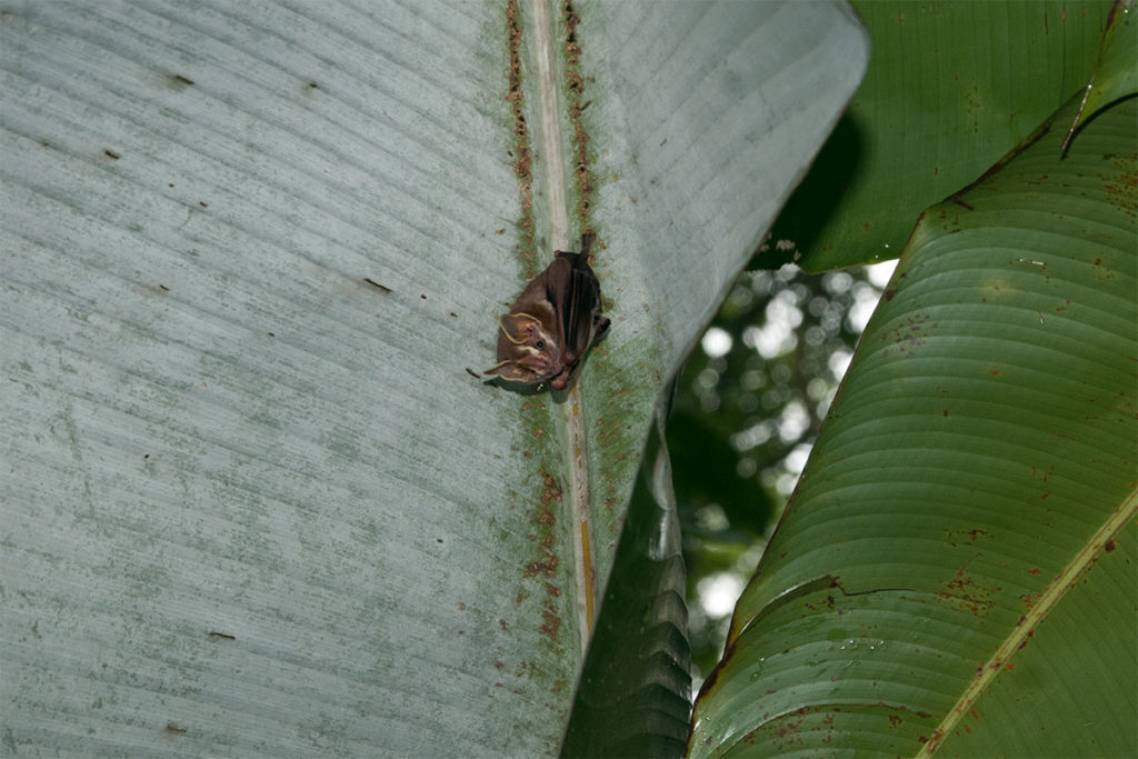 Tent-making bat in Corcovado National Park
