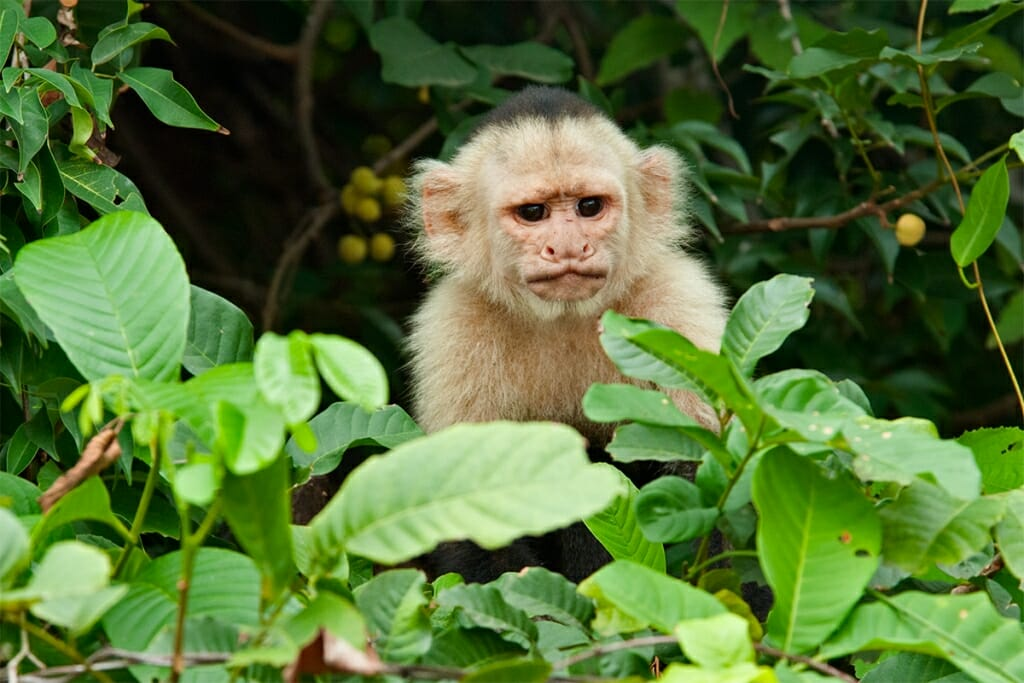 White-faced capuchin in Monteverde cloud forest reserve