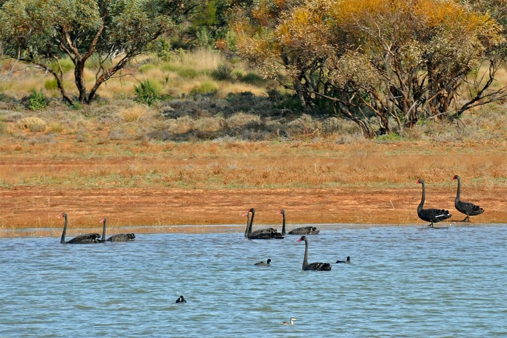 Black swans in the Outback