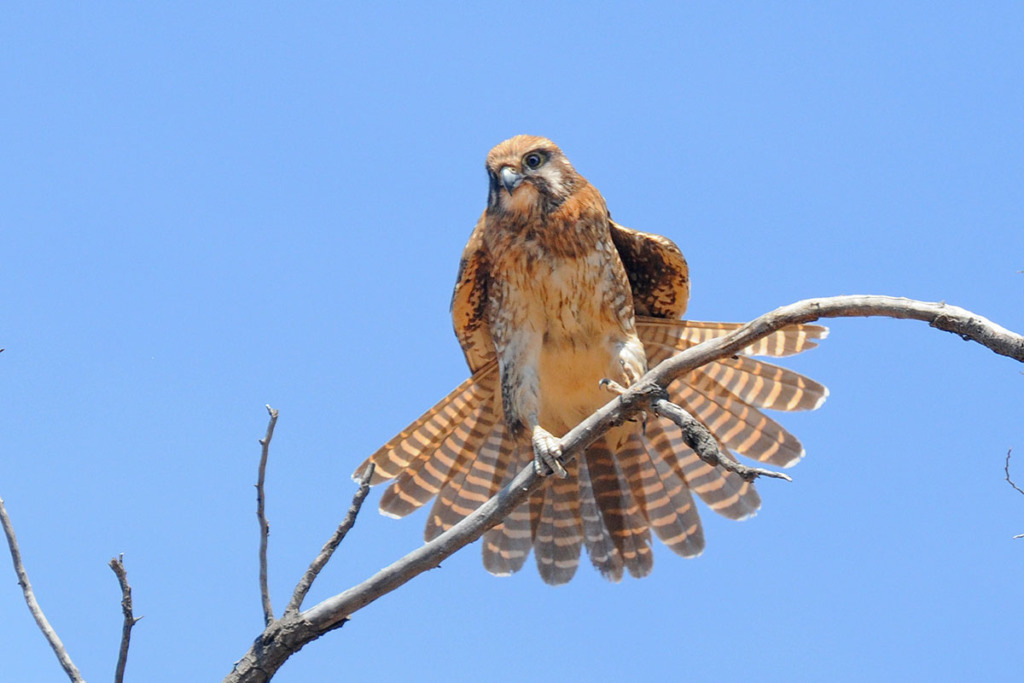 Birds of Australian Outback - Brown falcon