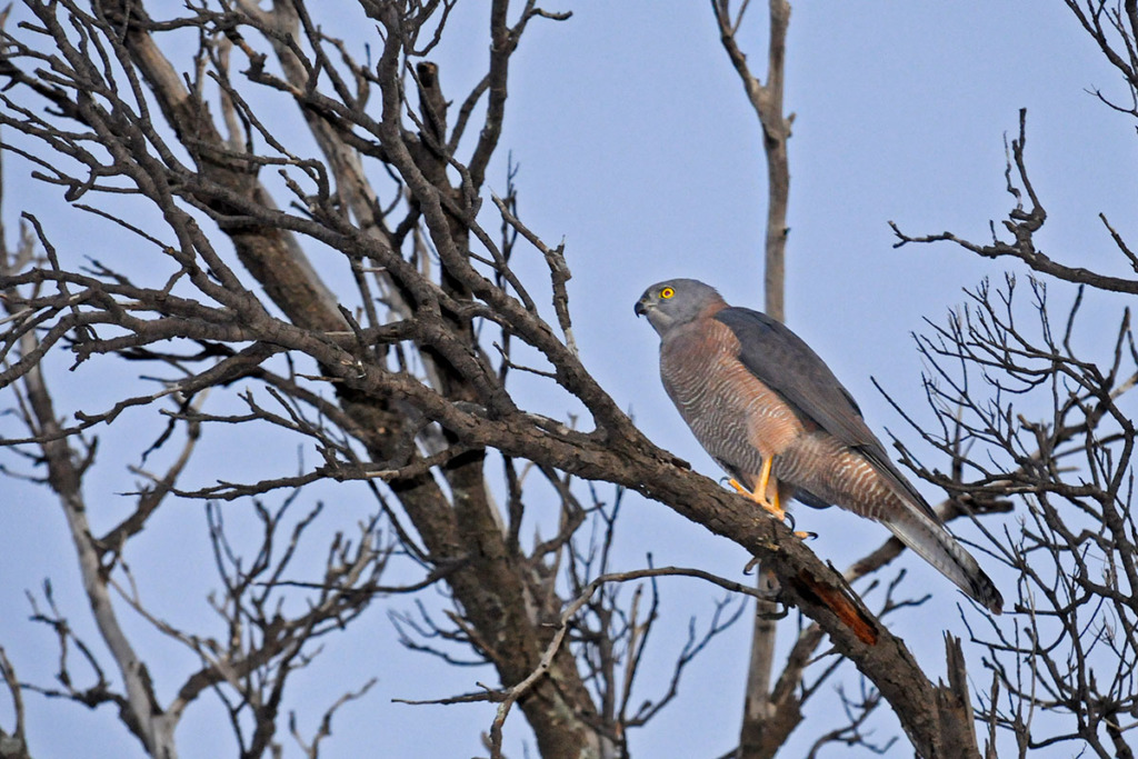 Birds of Australian Outback Brown goshawk