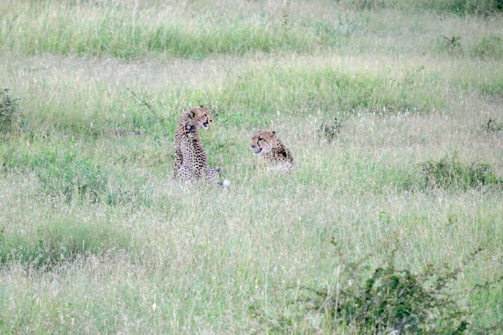 Cheetah with a cub feeding on a kill in Kruger