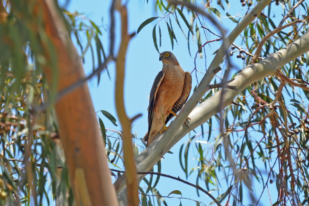 collared sparowhawk - birds of the Australian Outback