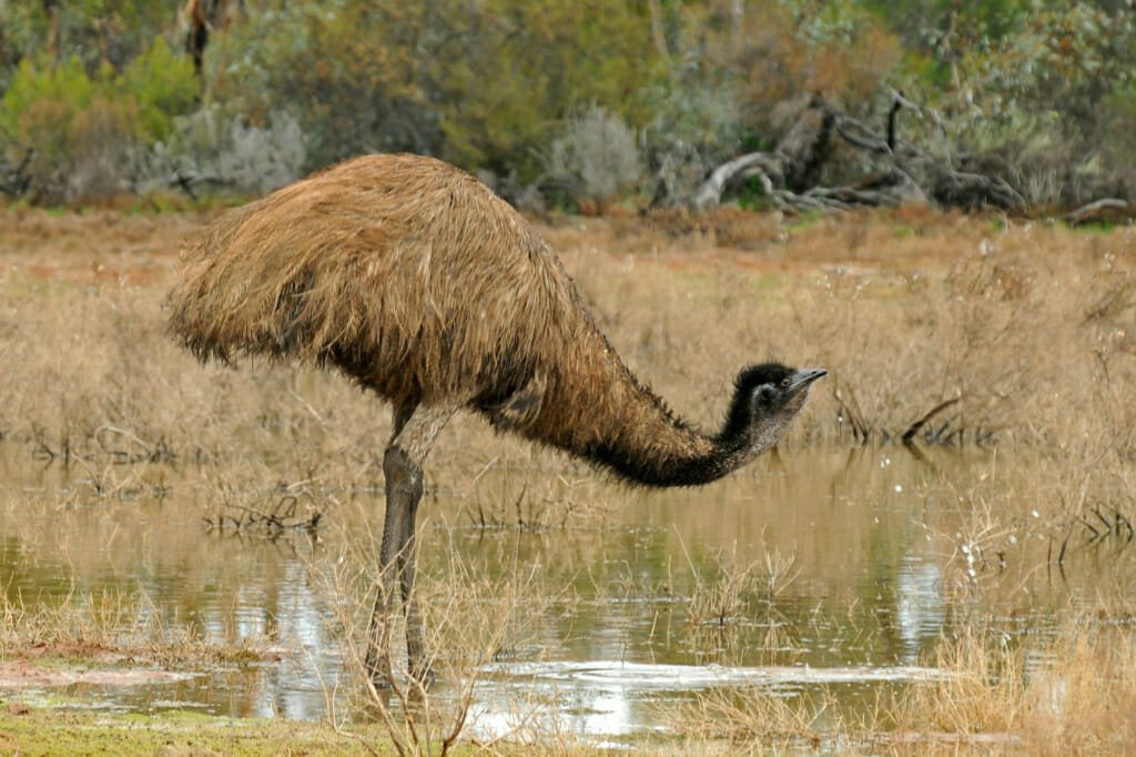 Emu in western NSW