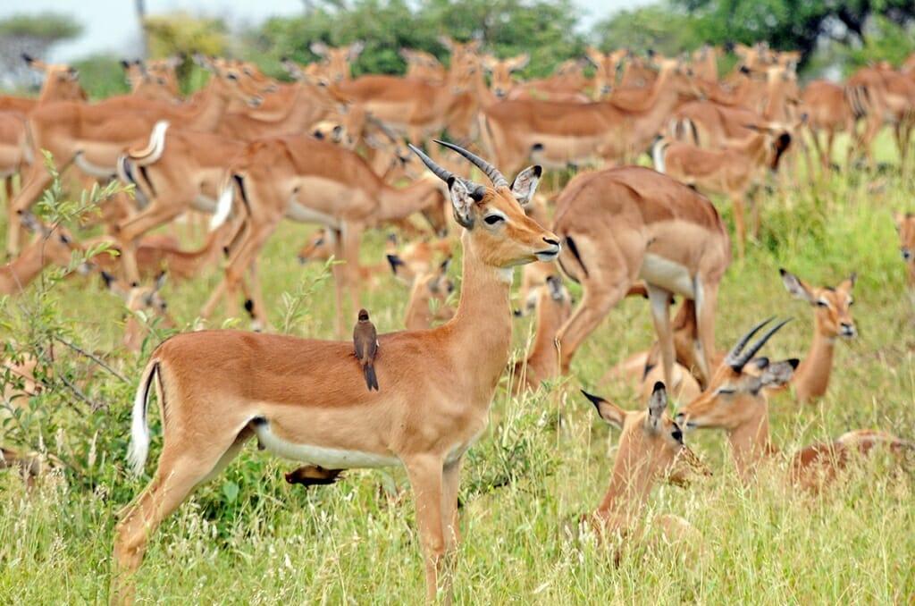 herd of impala Kruger