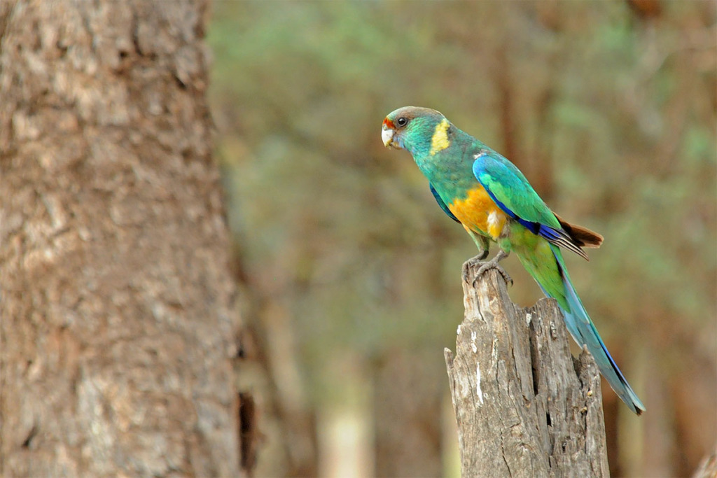 Mallee ringneck parrot in the outback