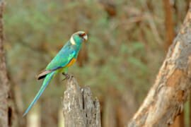 Mallee Ringneck at Flinders Ranges National Park, South Australia