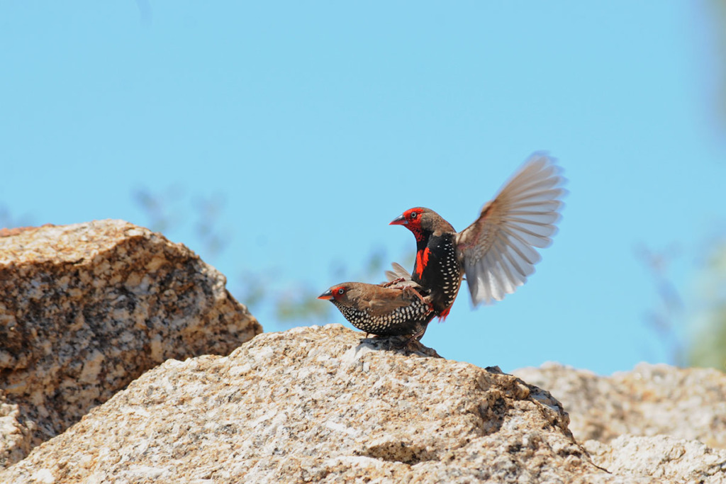 Painted finches in Australian outback