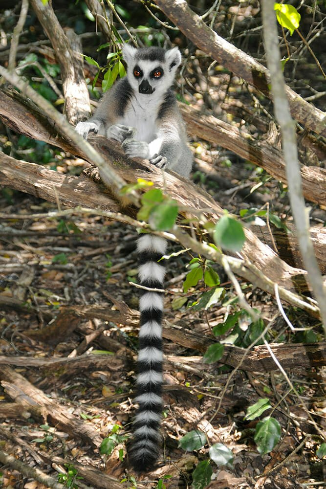 Ring-tailed lemur at Monkey land