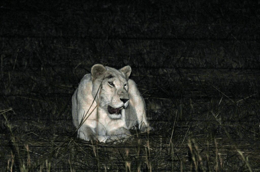 The highlight of a Kruger Park Safari - the white lions