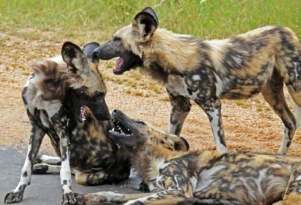 Wild dogs spottend on a Kruger Park Safari