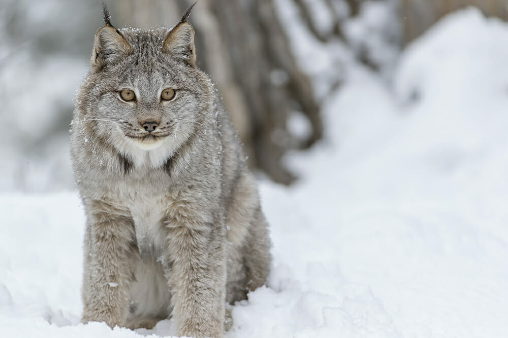 Type of wild cat - Canada lynx
