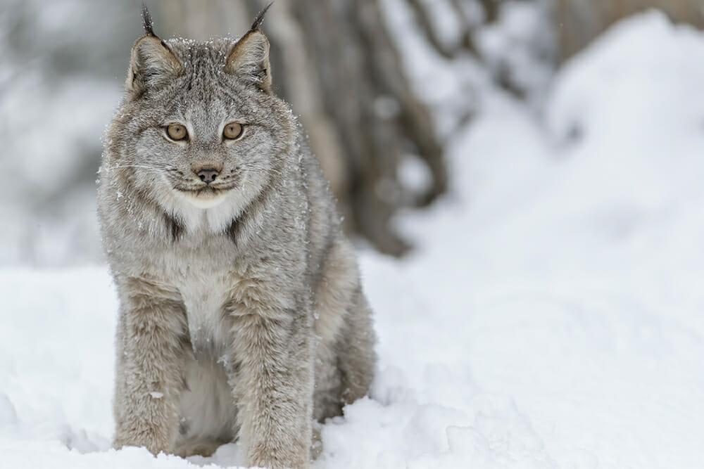 Canada lynx - Adobe Stock image