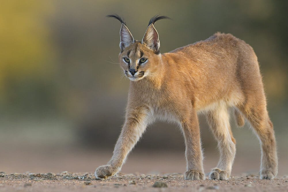 wild cat species - Caracal