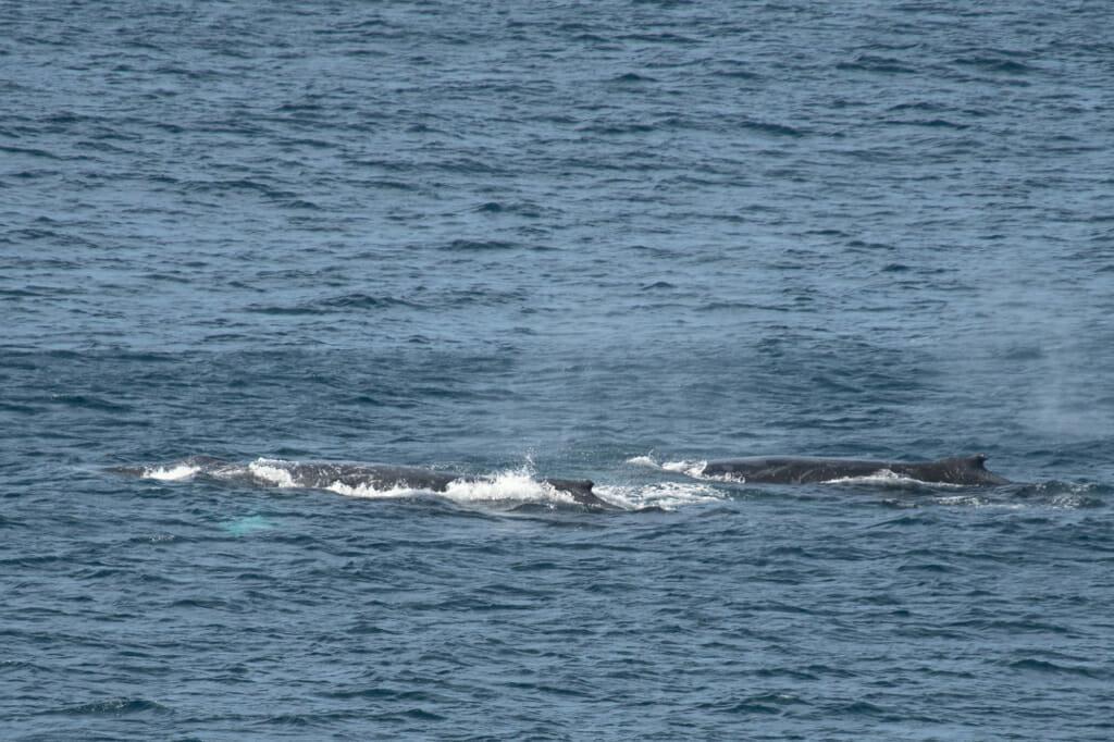 Humpback whales cruise past Royal National Park