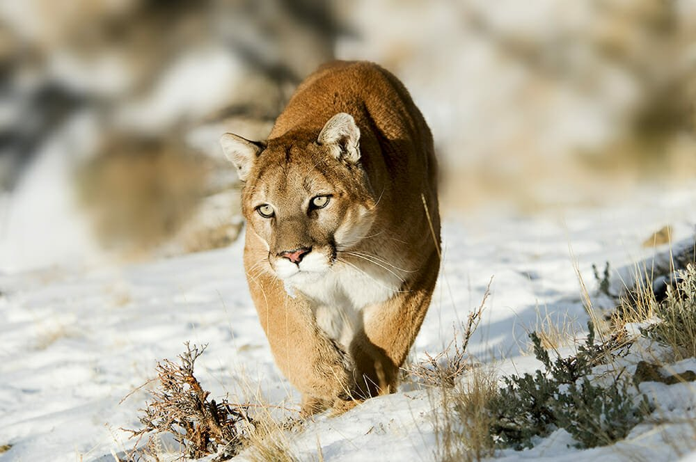 wild cats of south america - puma