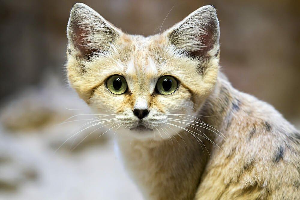 Wild cat species - Sand cat