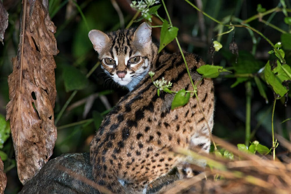 Wild cat species of the world - Sunda leopard cat in Deramakot Forest Reserve