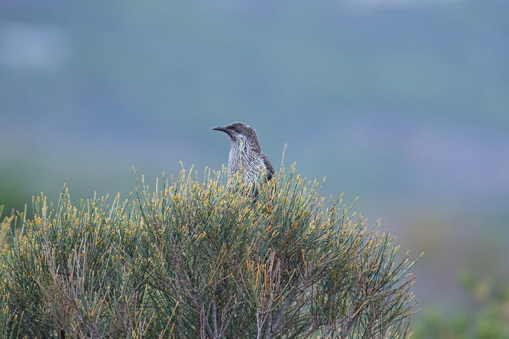 little wattlebird in Royal National Park