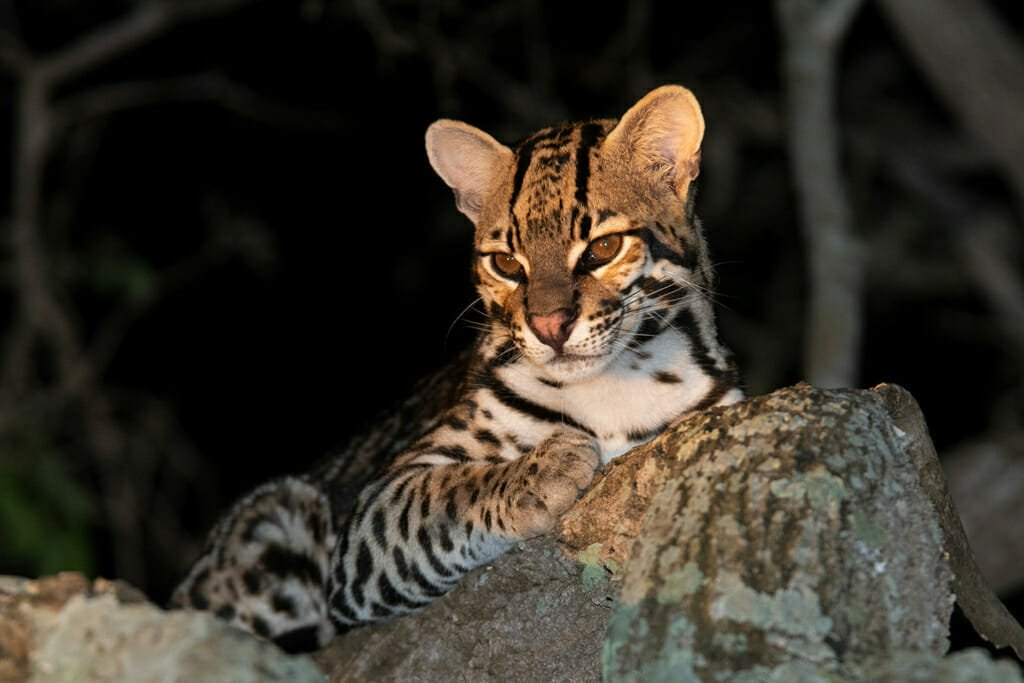 wild cat species of the world - Ocelot in the Southern Pantanal, Brazil