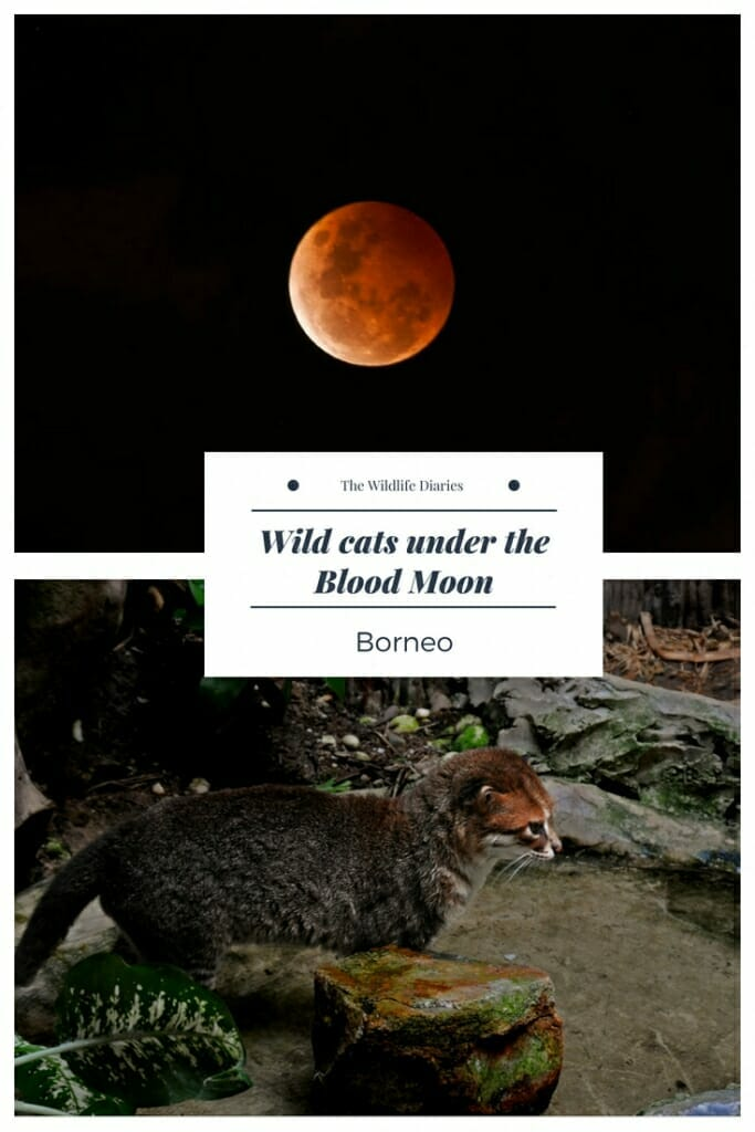 Flat-headed cat on Kinabatangan River in Borneo #bloodmoon #lunaeclipse #endangered #flatheadedcat.jpg