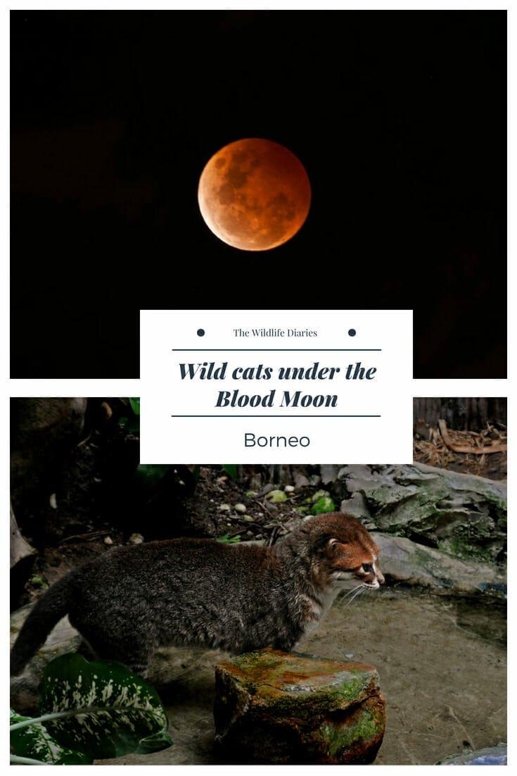 Flat-headed cat on Kinabatangan River in Borneo #bloodmoon #lunaeclipse #endangered #flatheadedcat