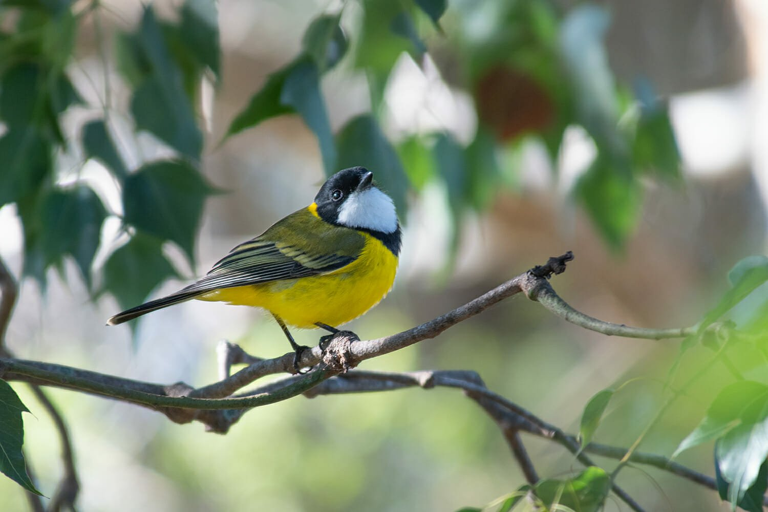 Male Golden whistler at Sydney Olympic Park