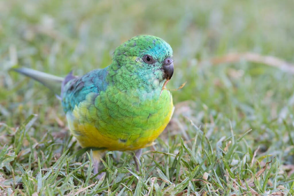 Where to see parrots in Sydney - Male Red-rumped parrot in Black Wattle Bay