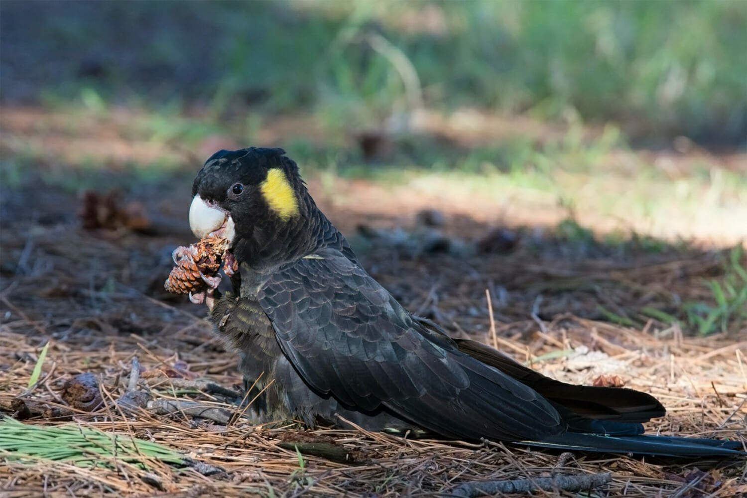 Where to see parrots in Sydney - Female Yellow-tailed black cockatoo