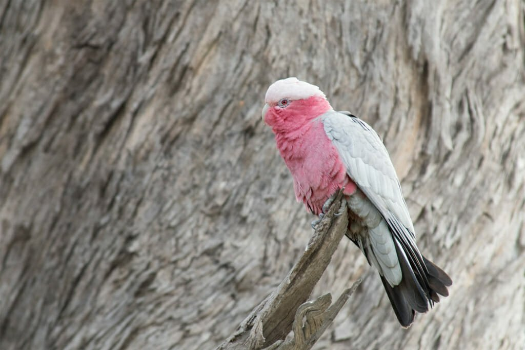 Sydney parrots - Galah in Mt Annan Botanic Gardens