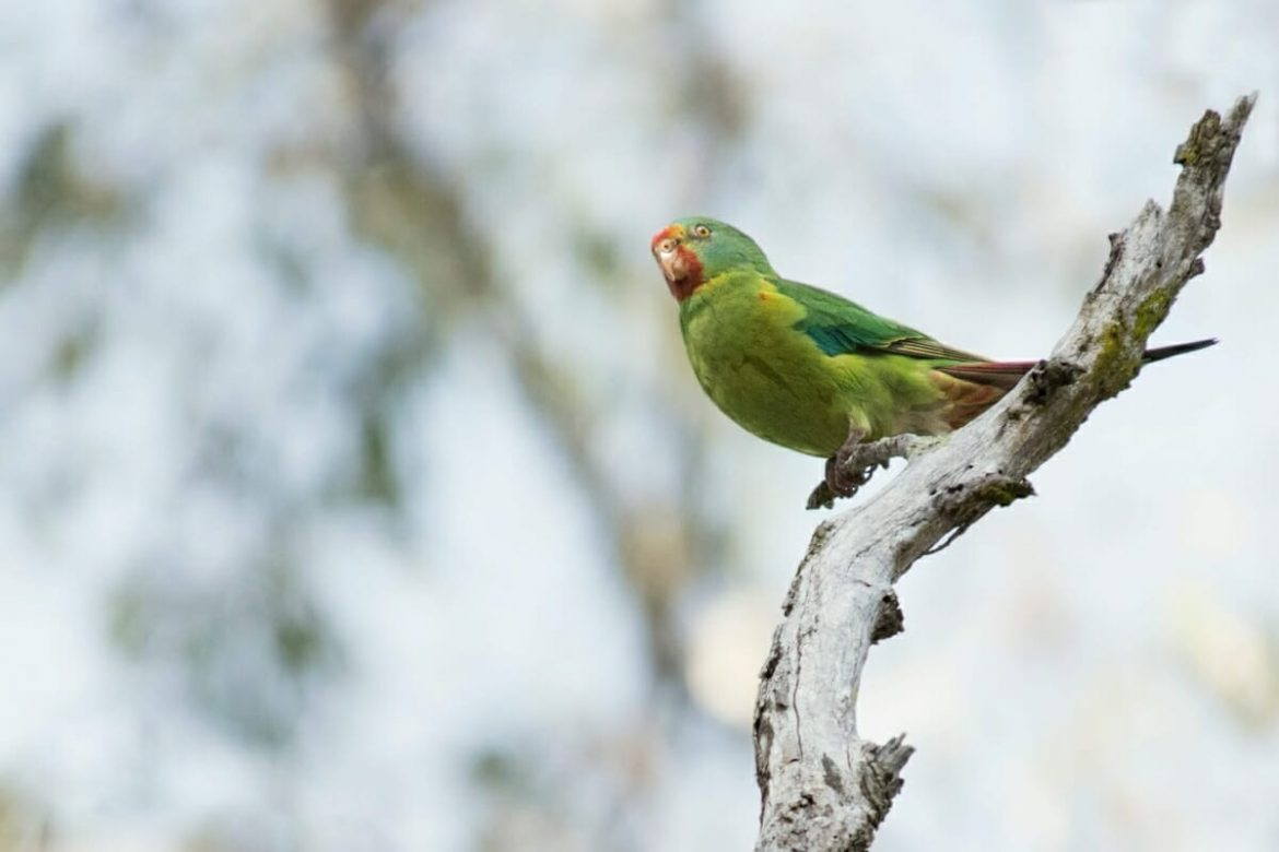 Sydney parrots - Swift parrot at Mt Annan Botanic Gardens