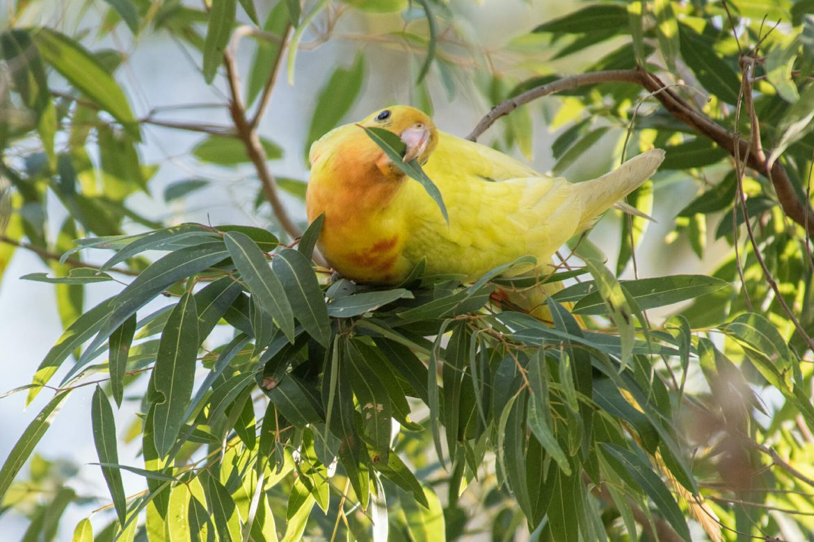 Where to see parrots in Sydney