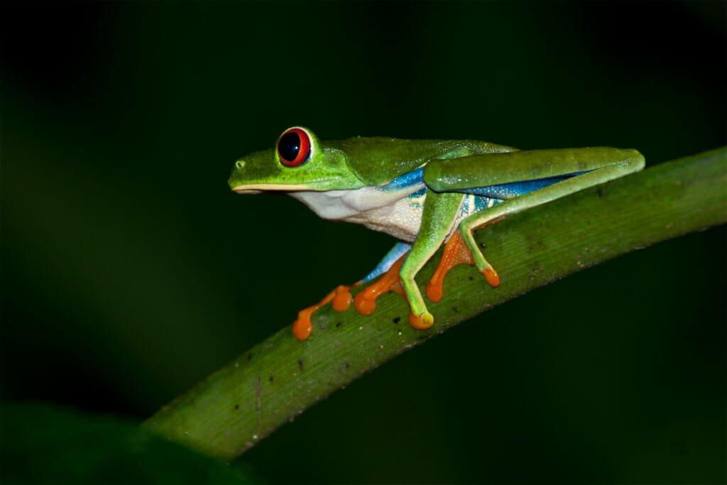 Red-eye tree frog at La Selva Biological Station, Costa Rica