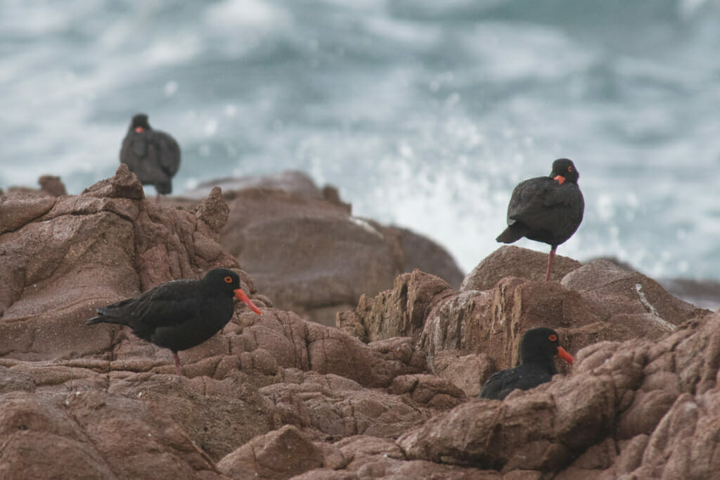 Sooty Oystercatchers in Anna Bay