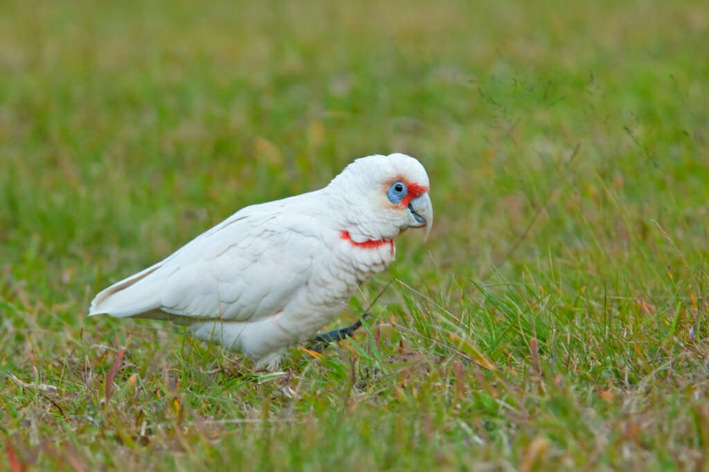 Sydney parrtos - Long-billed corella at Euroka clearing in the Blue Mountains