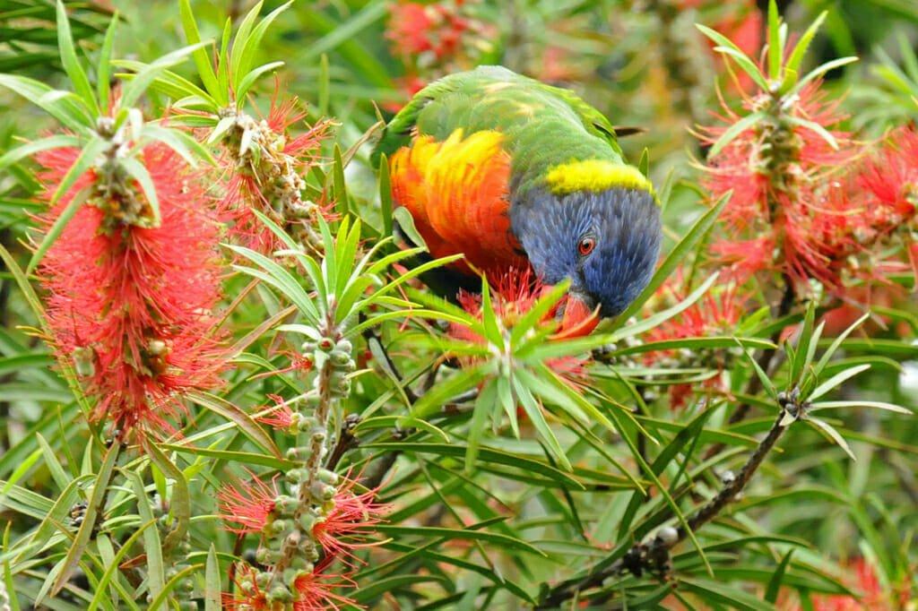 Rainbow Lorikeet in Centennial Park