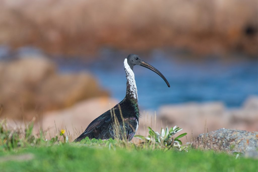 Straw necked ibis