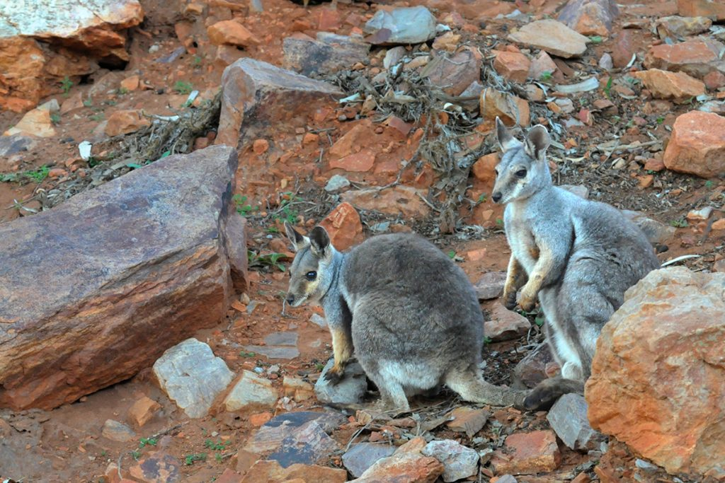 Black-footed rock wallabies at Simpson Gap