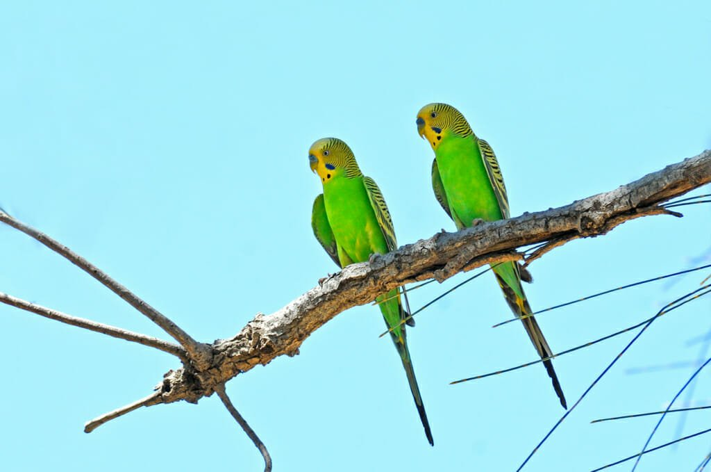 Budgerigars along the Mereenie Loop Road