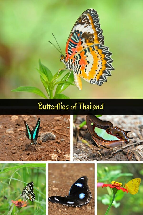 Butterflies of Thailand