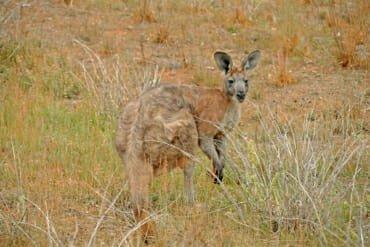 Wildlife of Flinders Ranges - Common Wallaroo