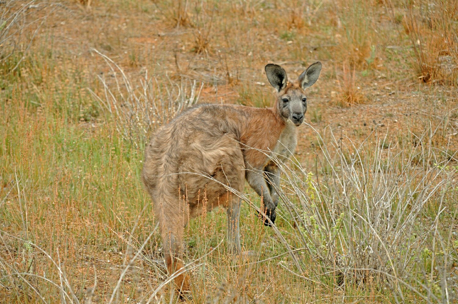 Wildlife of Flinders Ranges - Common Wallaroo