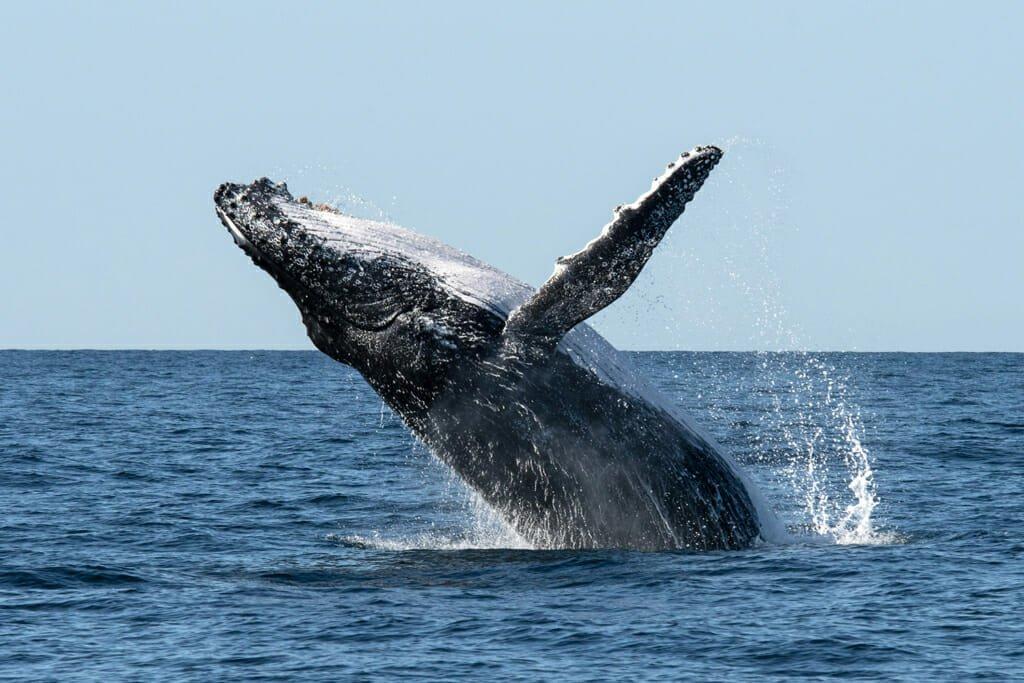 Humpback whale breaching